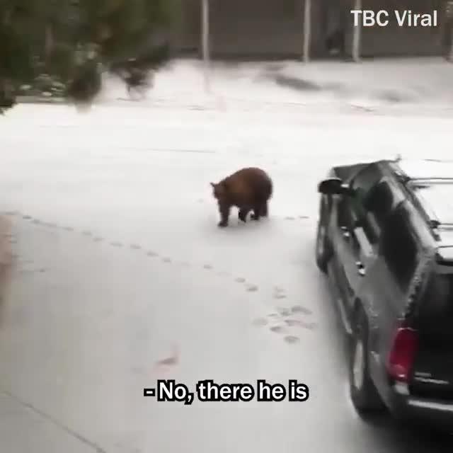 Chú gấu hoang mở cửa, bước vào xe thành thục như con người