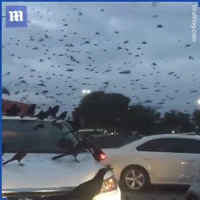 Bãi đỗ xe bất ngờ bị hàng ngàn con chim tấn công, cảnh tượng chẳng khác nào phim kinh dị
