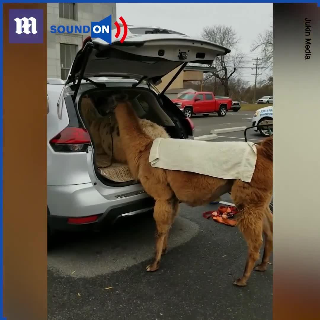 Người đàn ông khéo léo đưa 2 chú lạc đà lên phía sau chiếc SUV