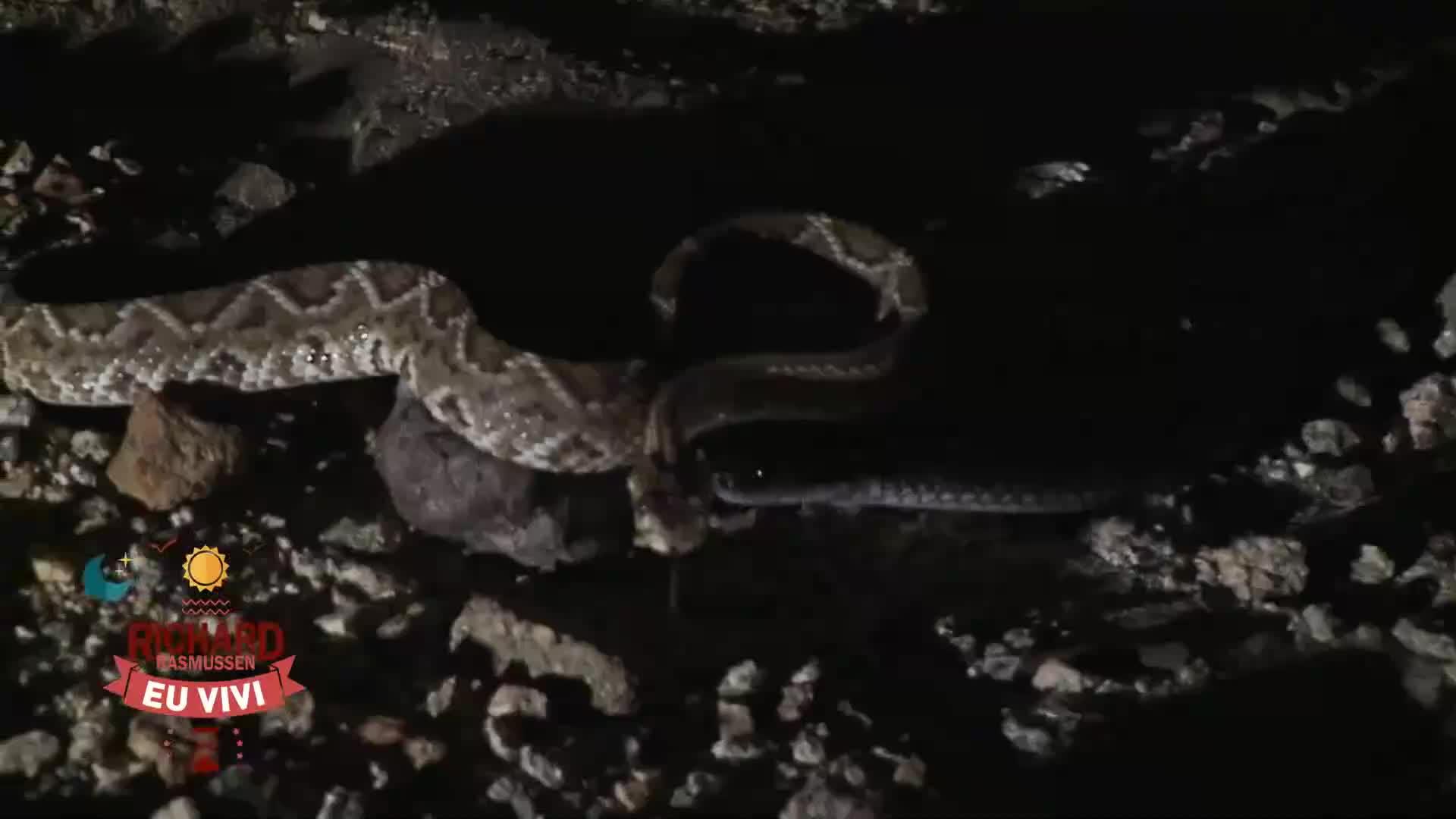 Clip- Rắn đuôi chuông bị đối thủ nhai nát đầu sau trận chiến đẫm máu