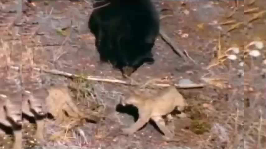 Clip- Bị báo mẹ cho ăn no đòn, gấu đen sợ hãi trèo lên cây trốn chạy