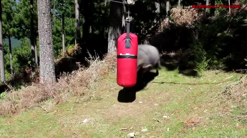 Clip- Cừu xám luyện tập boxing như võ sĩ
