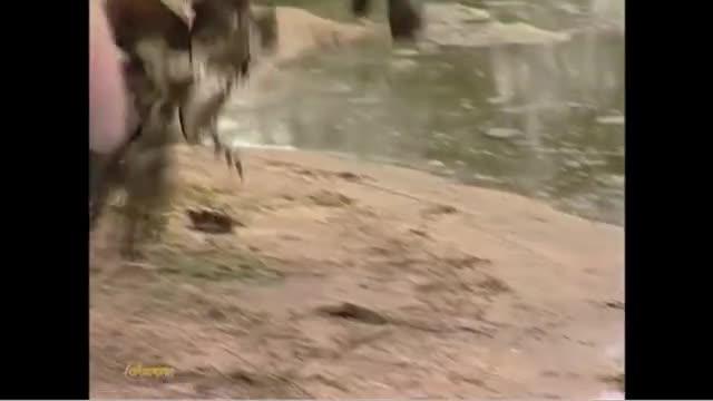 Cò marabou mượn tay cá sấu để tiêu diệt đối thủ