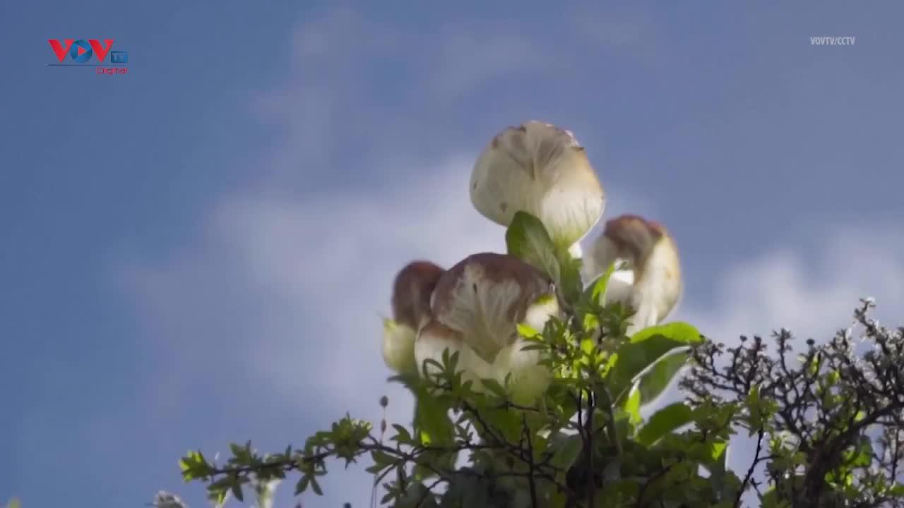 Khám phá bí ẩn sinh tồn của hoa sen tuyết huyền thoại trên cao nguyên Tây Tạng