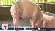 Bình Phước phòng chống dịch tả lợn Châu Phi trở lại