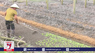 Nông dân Thừa Thiên – Huế sản xuất rau màu vụ Tết