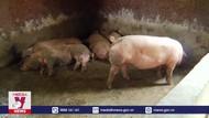 Hà Tĩnh nỗ lực phòng chống dịch tả lợn Châu Phi