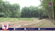 Giá cây cao su thanh lý giảm sâu tại Bình Phước