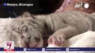 Hổ trắng quý hiếm chào đời tại vườn thú Nicaragua