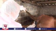 Thái Bình phòng chống bệnh viêm da nổi cục trên đàn trâu bò