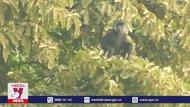 Bảo tồn quần thể Voọc mông trắng ở Hà Nam