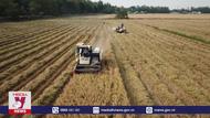 Giá gạo xuất khẩu tăng kỷ lục, vừa mừng vừa lo