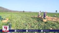 Giá dưa hấu tại Gia Lai tăng vọt