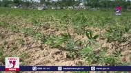 Hơn 1.000 hecta sắn tại Thừa Thiên – Huế bị bệnh khảm lá