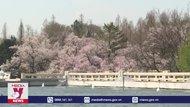 Chiêm ngưỡng sắc hoa anh đào rực rỡ tại Triều Tiên