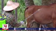 Lai Châu ngăn chặn bệnh viêm da nổi cục trên trâu, bò