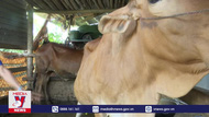 Bình Định ngăn chặn bệnh viêm da nổi cục ở trâu bò