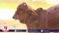 Ninh Bình tiêm phòng dịch viêm da nổi cục trên trâu, bò