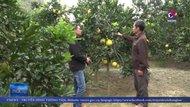 Lạng Sơn phát triển vùng chuyên canh cây ăn quả Hữu Lũng