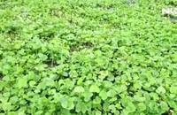 Bán rau má sạch, thu lợi trên 100 triệu đồng/năm