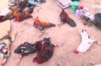 Vĩnh Long: Hàng chục người say sưa đá gà bị công an tóm gọn