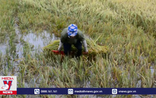 Nam Định: Hàng nghìn ha lúa mùa ngập sâu trong nước