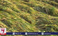 ĐBSCL thiệt hại lúa vì mưa