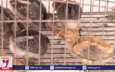 Cà Mau chủ động dập dịch H5N1