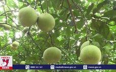 Người dân Yên Sơn, Tuyên Quang làm giàu từ cây bưởi