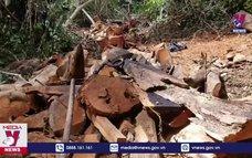 Liên tục chặt phá rừng hương cổ thụ tại Gia Lai