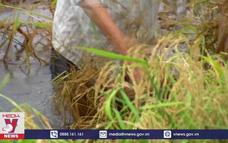 Cà Mau thiệt hại 1.400 ha lúa do mưa lớn, triều cường