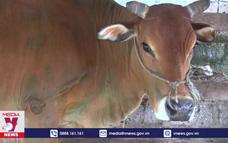 Thái Nguyên xuất hiện bệnh viêm da nổi cục trên trâu, bò