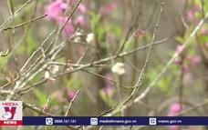 Hoa mơ nở sớm trắng rừng Mộc Châu