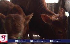 Hà Giang tập trung ngăn chặn bệnh viêm da nổi cục trên trâu, bò