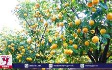 Vùng trồng quất cảnh lớn nhất miền Trung vào vụ Tết