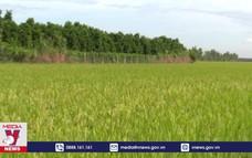 Để phát triển bền vững cánh đồng lớn tại Long An