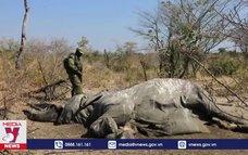 Hàng trăm cá thể voi chết vì tảo lam