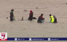 Gần 400 cá voi mắc cạn tử vong tại Australia