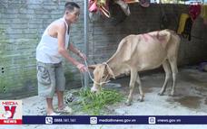 Hoang mang chất lượng nguồn bò giống