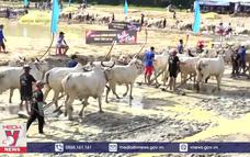 An Giang dừng tổ chức Hội đua bò Bảy Núi năm 2020