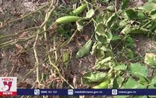 Hạn mặn kéo dài bất thường gây thiệt hại tại Cà Mau