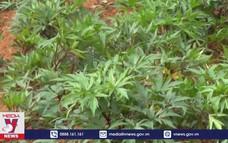 Phát triển bền vững cây dược liệu ở Lào Cai