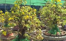 Mai nở sớm nhà vườn tại TP Hồ Chí Minh lo thất thu