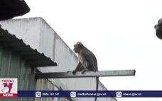 Xử lý đàn khỉ hoang ở khu dân cư TP.HCM