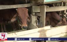 Quảng Trị: Hơn 80 con trâu bò bị chết do rét đậm, rét hại