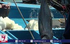 Chuyến biển cuối năm, ngư dân trúng đậm cá ngừ