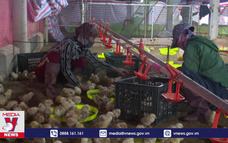 Bàn giao 210.000 con gà giống cho vùng lũ tỉnh Quảng Trị