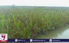 Hội An bảo tồn phát triển rừng ngập mặn