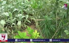 Bắc Giang phát hiện hộ dân trồng 3.000 cây thuốc phiện