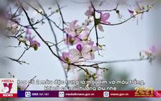 Sắc hoa ban giữa lòng Hà Nội
